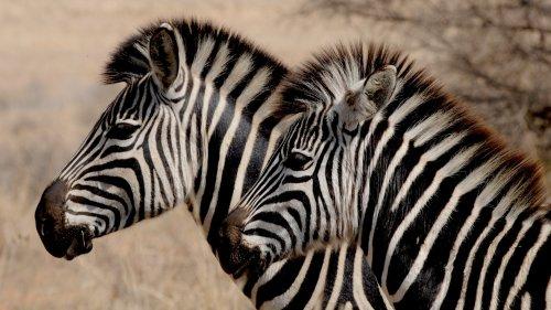 ¿Por qué algunos animales tienen rayas?