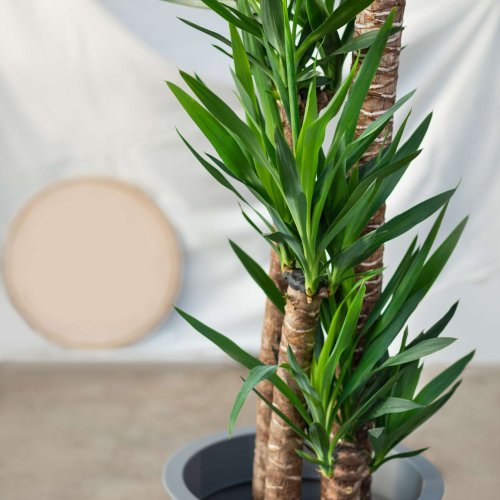 Your Complete Guide to Growing a Yucca Plant at Home