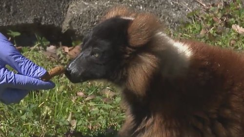 Lonely lemur at NC Zoo finds new friend as Marie the red ruff moves in from Greensboro Science Center