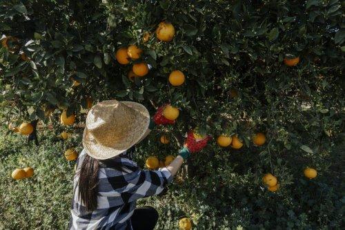 Phototoxische Pflanzen – wann Petersilie oder Zitrone giftig werden können