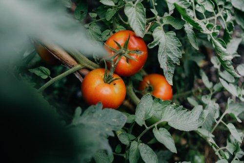 Die häufigsten Fehler beim Düngen von Tomaten