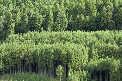 """""""Daisugi"""" – warum in Japan Bäume auf Bäumen wachsen"""