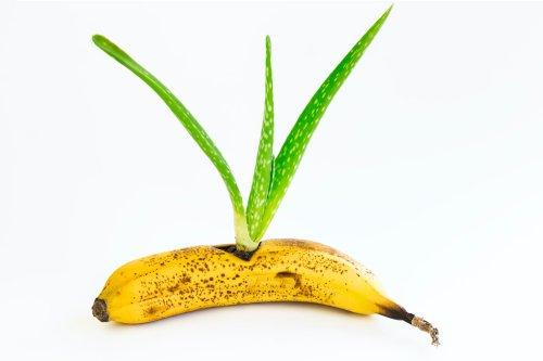 Kann man eine Aloe Vera wirklich in einer Banane vermehren?