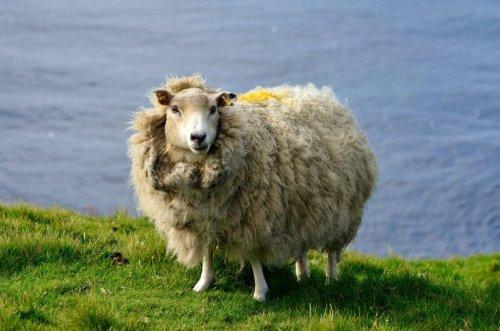Was taugt Schafwolle als Dämmstoff?
