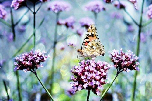 Schmetterlinge sehen infrarot, sie mögen lila Blüten