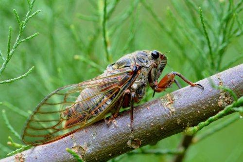Zikaden erkennen und effektiv bekämpfen
