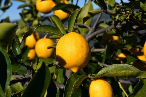 Zitronenbaum im Kübel richtig pflanzen und pflegen