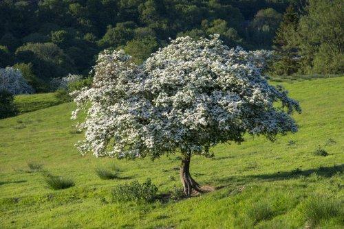 Weißdorn im Garten richtig pflanzen und pflegen