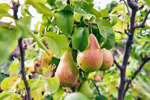 Im Herbst bei Birnbäumen unbedingt Falllaub entfernen