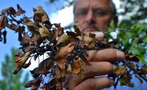 Feuerbrand an Pflanzen erkennen, bekämpfen und vorbeugen