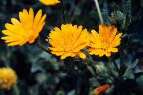 Pflanzen, mit denen man Mücken effektiv vertreiben kann