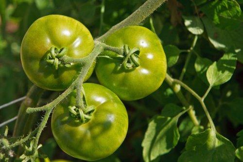 Die letzten unreifen Tomaten sind noch zu retten