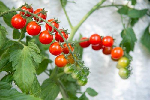 Tipps, um Tomaten ganz leicht selbst auf dem Balkon zu ziehen