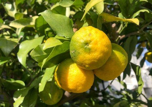 Yuzu im eigenen Garten oder auf dem Balkon kultivieren - myHOMEBOOK