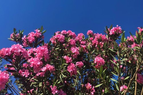 Pflanz- und Pflegetipps für den mediterranen Oleander