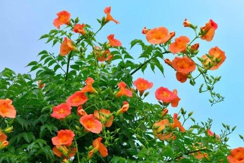 Pflanz- und Pflegetipps für die kletternde Trompetenblume