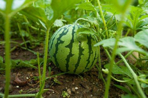 Melonen im eigenen Garten anbauen und ernten