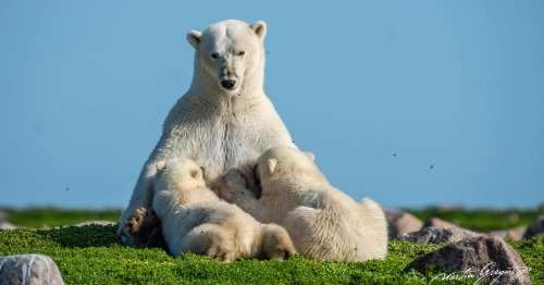 Award-Winning Drone Photographer Spends 33 Days Camping With Polar Bears in Canada [Interview]