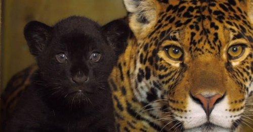 "Rare Newborn Black Jaguar Cub Brings Hope to the ""Near Threatened"" Species"