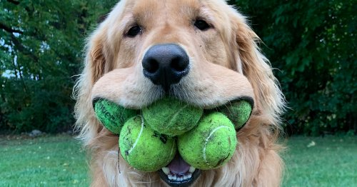 Golden Retriever Breaks Guinness World Record for Most Tennis Balls Held in the Mouth by a Dog