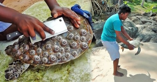 Watch How a Helpful Guy Saves Local Sea Turtles From Unnecessary Suffering