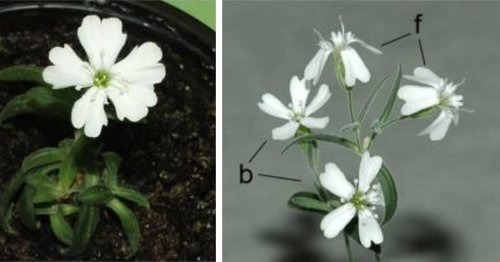Scientists Revive 32,000-Year-Old Plant From Siberian Permafrost