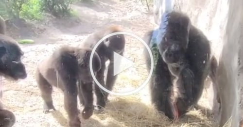 Viral TikTok Video Shows That Gorillas Are Scared of Snakes Too