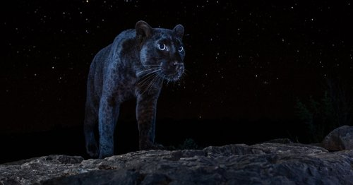 Incredible Photos Capture Rare Sight of Elusive Black Panther Under the Stars
