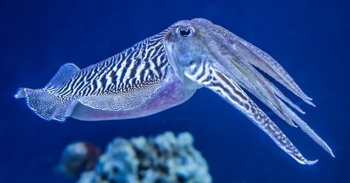 "Cuttlefish Have Passed the ""Marshmallow Test"" Originally Designed for Human Children"