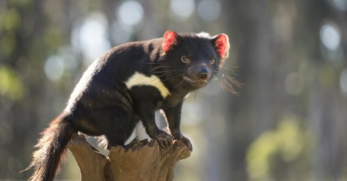 Tasmanian Devils Are Born on Mainland Australia for the First Time in 3,000 Years