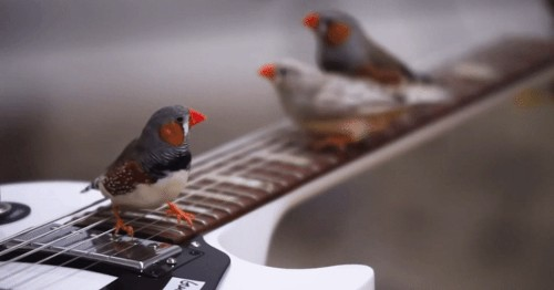 "Zebra Finches Become a ""Flock of Songwriters"" in a Room Full of Electric Guitars"