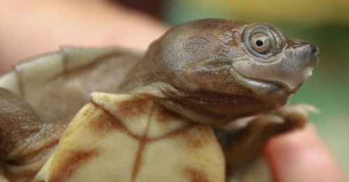 Smiley Faced Turtles Once Thought to Be Extinct Are Making a Comeback Thanks to Conservationists