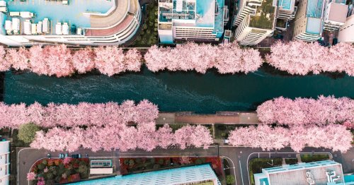 """Photographer Captures a """"Suddenly Appearing"""" Path of Cherry Blossoms in Tokyo"""