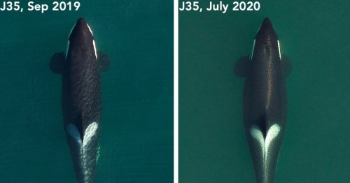 Killer Whale Who Her Carried Her Dead Baby for 17 Days Is Pregnant Once Again