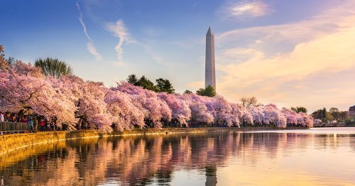 You Can Watch the Cherry Blossoms of Washington, D.C. Bloom on This Livestream