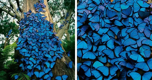Photographer Captures Magical Sight of Brilliant Blue Butterflies Clustered on a Tree