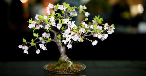 Grow Your Own Tiny Cherry Blossom Tree With This Sakura Bonsai Kit
