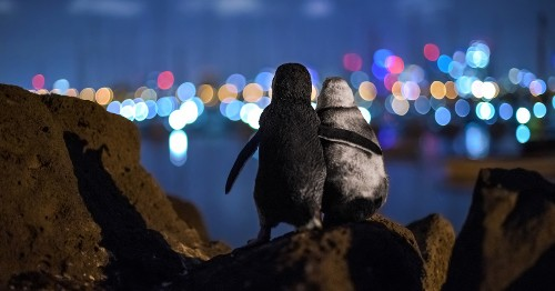 Two Widowed Penguins Embracing and Overlooking Melbourne Skyline Together Wins Best Photo of 2020