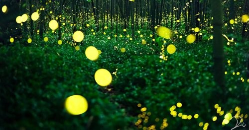 Long-Exposure Photos Capture Illuminated Trails of Fireflies Dancing Through Japanese Forests
