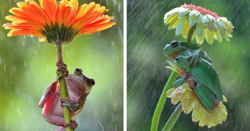 Wildlife Photographer Captures Tiny Garden Frogs Using Flowers as Umbrellas