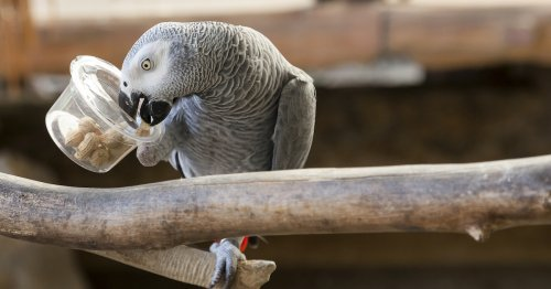 This African Gray Parrot Was the First Animal To Ever Ask an Existential Question