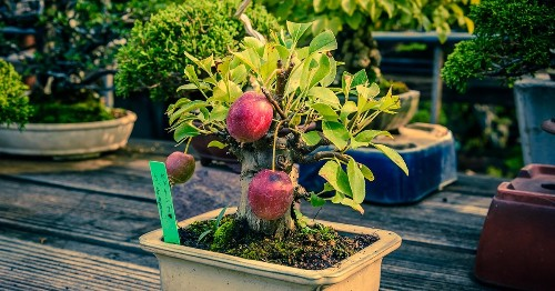 Mini Bonsai Trees Can Grow Full-Sized Apples, Quinces, and Pomegranates