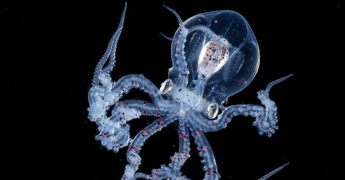 Rare Octopus With Completely Transparent Head Caught by Blackwater Photographer [Interview]