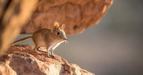 Researchers Rediscover Elephant Shrew in Africa After 50 Years