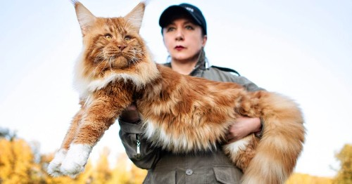 5 Fun Facts About Maine Coons, the Gentle Giants of the Cat World