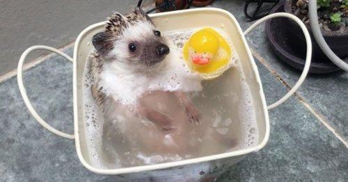 Watch Chappi the Adorable Hedgehog Enjoy Splashing Around in the Bath