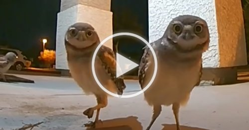 Funny Group of Owls Trigger Video Security Cam at Night With Their Adorable Antics