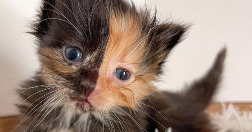 Adorable Kitten With Rare Two-Toned Face Is Rescued After Being Abandoned at Construction Site