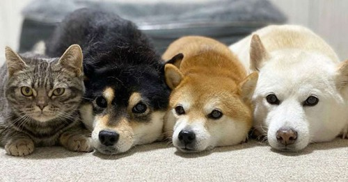 Adorable Japanese Cat Thinks He's a Dog Just Like His Shiba Inu Siblings