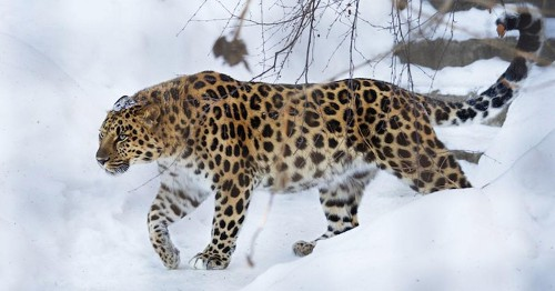 How the Majestic Amur Leopard Became One of the World's Rarest Big Cats